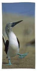 Blue-footed Booby Sula Nebouxii Beach Towel by Tui De Roy