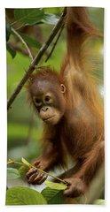 Orangutan Pongo Pygmaeus Baby Swinging Beach Towel by Christophe Courteau