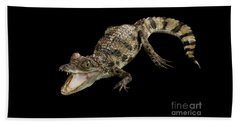 Young Cayman Crocodile, Reptile With Opened Mouth And Waved Tail Isolated On Black Background In Top Beach Towel by Sergey Taran