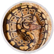 Ball Python Python Regius Coiled On Rock Round Beach Towel by David Kenny
