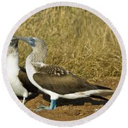 Blue-footed Booby Pair Round Beach Towel by William H. Mullins