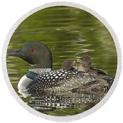 Loon Parent With Two Chicks Round Beach Towel by John Vose