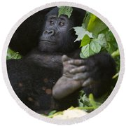 Mountain Gorilla Gorilla Beringei Round Beach Towel by Panoramic Images