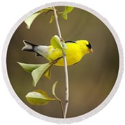 American Goldfinch Round Beach Towel by Christina Rollo