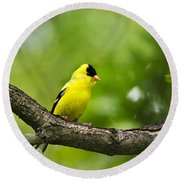 American Goldfinch-4 Round Beach Towel by Christina Rollo