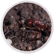Ant Queen Fight Round Beach Towel by Gregory G. Dimijian, M.D.