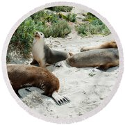 Australian Sea Lions Neophoca Cinerea Round Beach Towel by Panoramic Images