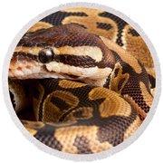 Ball Python Python Regius Close Round Beach Towel by David Kenny