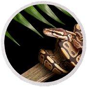 Ball Python Python Regius On Branch Round Beach Towel by David Kenny