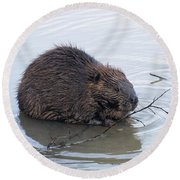 Beaver Chewing On Twig Round Beach Towel by Chris Flees