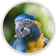 Blue And Gold Macaw V3 Round Beach Towel by Douglas Barnard