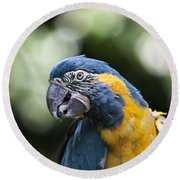 Blue And Gold Macaw V5 Round Beach Towel by Douglas Barnard