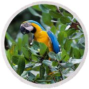 Blue And Yellow Macaw Round Beach Towel by Art Wolfe