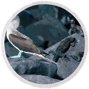 Blue-footed Booby And Iguanas Round Beach Towel by Art Wolfe