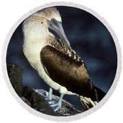 Blue-footed Booby Round Beach Towel by Art Wolfe