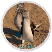 Blue-footed Booby Mating Display Round Beach Towel by Ron Sanford