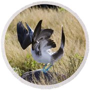 Blue-footed Courtship Behavior Round Beach Towel by William H. Mullins