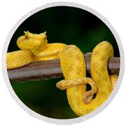 Close-up Of An Eyelash Viper Round Beach Towel by Panoramic Images