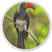 Crowned Hornbill Perching On A Branch Round Beach Towel by Panoramic Images