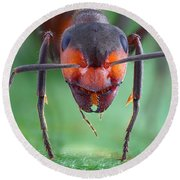 European Red Wood Ant Round Beach Towel by Matthias Lenke