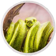 Green Tree Python Round Beach Towel by Pati Photography