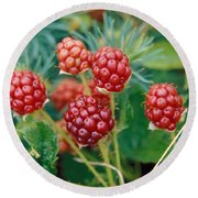 Highbush Blackberry Rubus Allegheniensis Grows Wild In Old Fields And At Roadsides Round Beach Towel by Anonymous