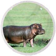 Hippopotamus Hippopotamus Amphibius Round Beach Towel by Panoramic Images