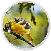 Musing Baltimore Oriole Round Beach Towel by Christina Rollo