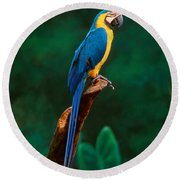 Singapore Macaw At Jurong Bird Park  Round Beach Towel by Anonymous