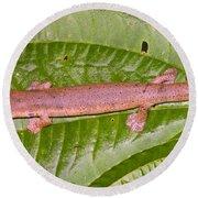 Bolitoglossine Salamander Round Beach Towel by Dante Fenolio