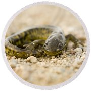 Close Up Tiger Salamander Round Beach Towel by Mark Duffy