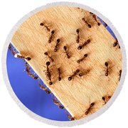 Fire Ants Round Beach Towel by Science Source