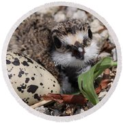 Killdeer Baby - Photo 25 Round Beach Towel by Travis Truelove