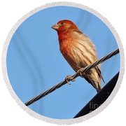American Crossbill On Wire     Spring   Indiana   Round Beach Towel by Rory Cubel