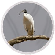 Australian White Ibis Perched Round Beach Towel by Mike  Dawson