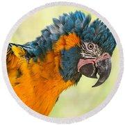 Blue Throated Macaw Round Beach Towel by Jamie Pham