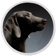 Close-up Portrait Weimaraner Dog In Profile View On White Gradient Round Beach Towel by Sergey Taran