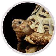 Closeup Leopard Tortoise Albino,stigmochelys Pardalis Turtle With White Shell On Isolated Black Back Round Beach Towel by Sergey Taran