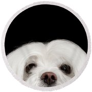 Closeup Nosey White Maltese Dog Looking In Camera Isolated On Black Background Round Beach Towel by Sergey Taran