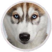 Closeup Siberian Husky Puppy With Blue Eyes On White  Round Beach Towel by Sergey Taran