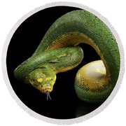 Green Tree Python. Morelia Viridis. Isolated Black Background Round Beach Towel by Sergey Taran