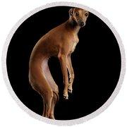 Italian Greyhound Dog Jumping, Hangs In Air, Looking Camera Isolated Round Beach Towel by Sergey Taran