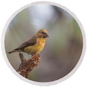 Juvenile Male Red Crossbill Round Beach Towel by Doug Lloyd
