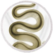 Southern Pacific Rattlesnake, X-ray Round Beach Towel by Ted Kinsman