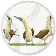 Three Blue Footed Boobies Round Beach Towel by Juan Bosco