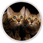 Two Bengal Kitty Looking In Camera On Black Round Beach Towel by Sergey Taran