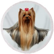 Yorkshire Terrier Dog With Long Groomed Hair Lying On White  Round Beach Towel by Sergey Taran