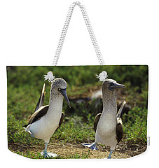 Blue-footed Booby Pair In Courtship Weekender Tote Bag by Tui De Roy