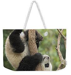 Giant Panda Cub In Tree Chengdu Sichuan Weekender Tote Bag by Katherine Feng