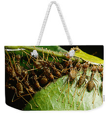 Weaver Ant Group Binding Leaves Weekender Tote Bag by Mark Moffett
